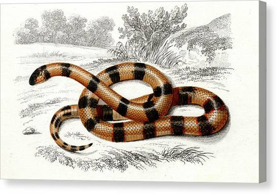 Coral Snakes Canvas Print - Coral Snake by Collection Abecasis