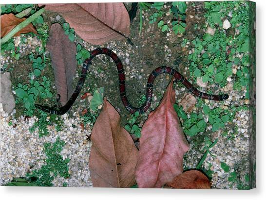Coral Snakes Canvas Print - Coral Snake by Dr Morley Read/science Photo Library