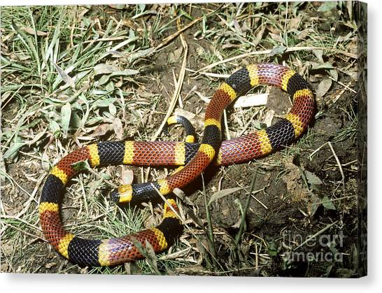 Coral Snakes Canvas Print - Coral Snake by Gregory G. Dimijian, M.D.