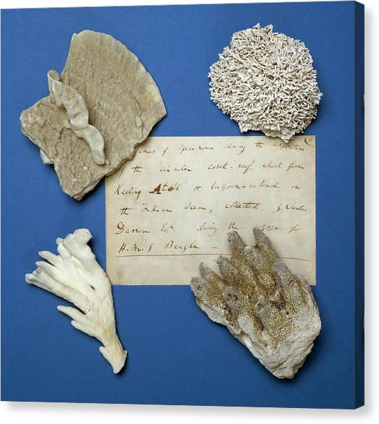Beagles Canvas Print - Coral Specimens by Natural History Museum, London/science Photo Library