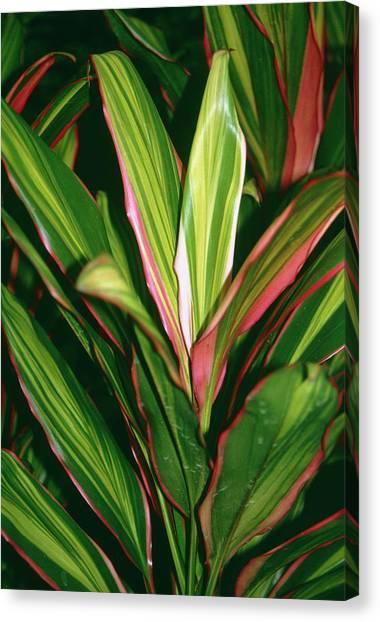 Kiwis Canvas Print - Cordyline Kiwi. by Mrs W D Monks/science Photo Library
