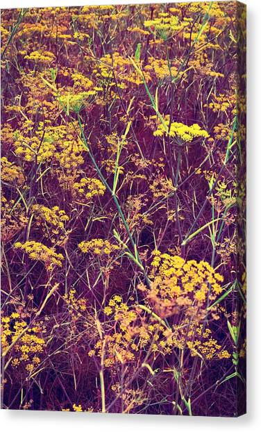 Coriander In Bloom 2 Canvas Print
