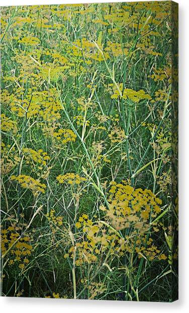 Coriander In Bloom Canvas Print