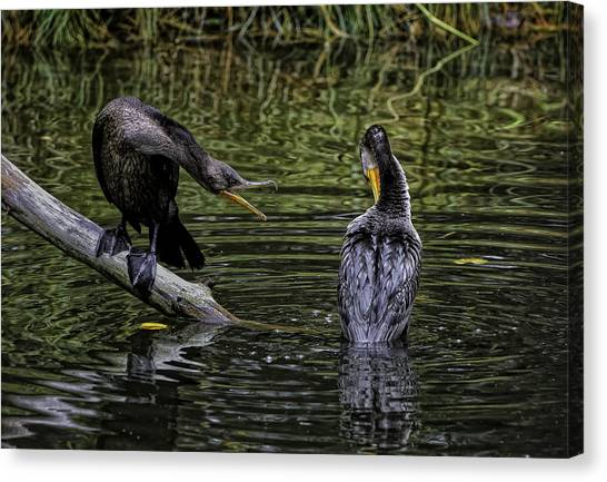 Cormorant Squabble Canvas Print