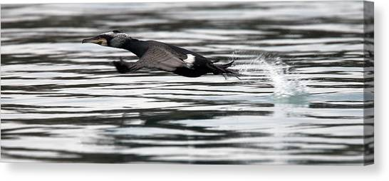 Cormorant Taking Off From The Sea Canvas Print
