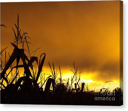 Corn At Sunset Canvas Print