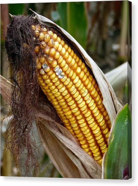 Canvas Print featuring the photograph Corn Cob Dry by Jeff Lowe
