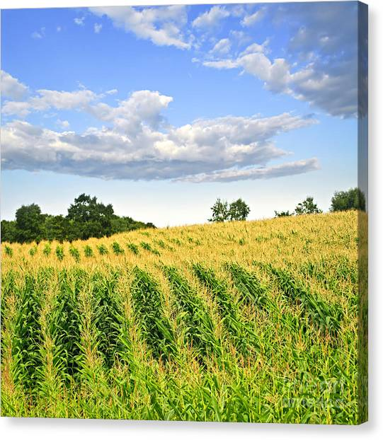 Corn Field Canvas Print - Corn Field by Elena Elisseeva