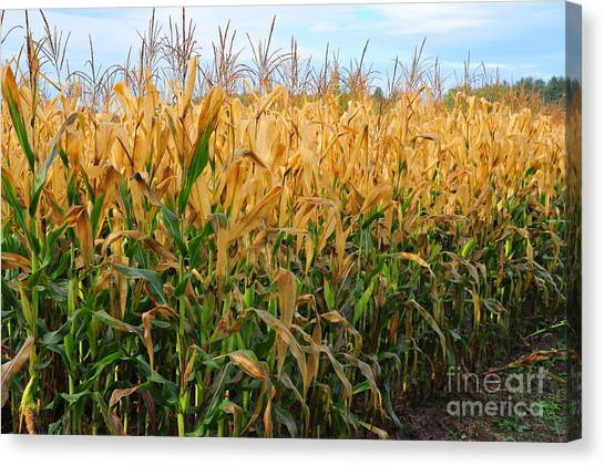 Corn Harvest Canvas Print