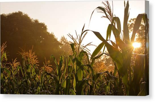 Corn In The Sunlight Canvas Print by Cristin Sirbu