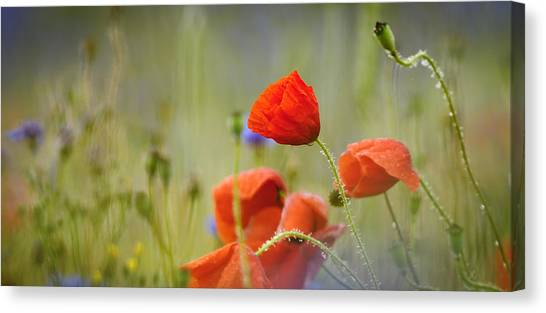 Andy Bloom Canvas Print - Corn Poppys by Andy-Kim Moeller