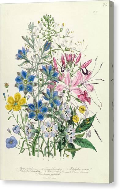 Victorian Garden Canvas Print - Cornflower by Jane Loudon