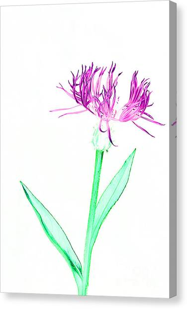 Cornflower No.3 Canvas Print