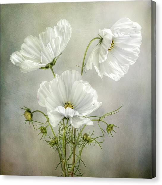 Cosmos Flower Canvas Print - Cosmos Charm by Mandy Disher