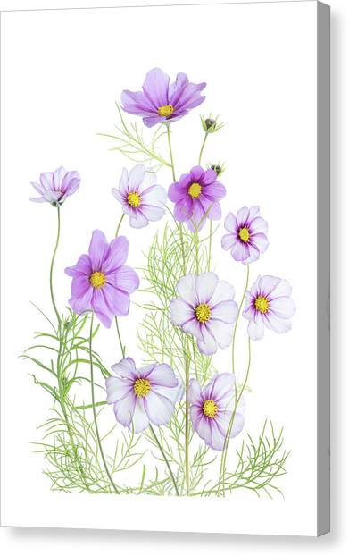 Bright Canvas Print - Cosmos Comfort by Mandy Disher