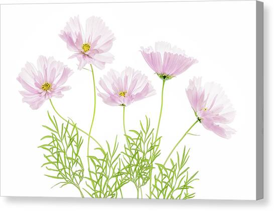 Cosmos Flower Canvas Print - Cosmos Cupcake by Mandy Disher