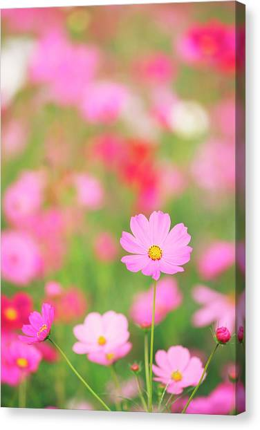 Cosmos Flowers Canvas Print by Ooyoo