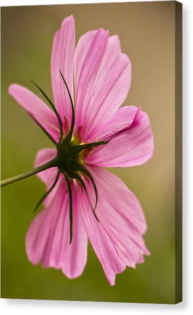 Cosmos In Pink Canvas Print