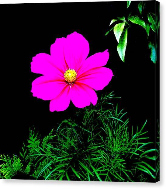 Cosmos Pink On Black Canvas Print