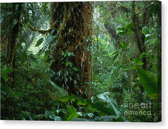Monteverde Canvas Print - Costa Rican Cloud Forest by Art Wolfe