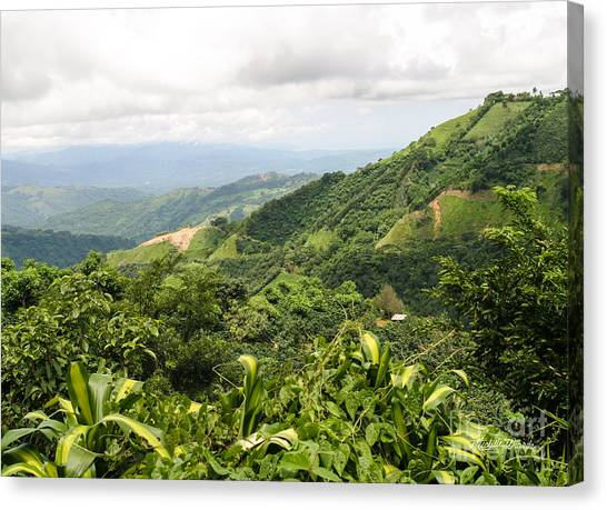 Coffee Plant Canvas Print - Costa Rican Coffee by Michelle Wiarda-Constantine