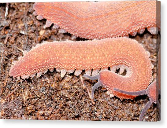 Costa Rican Canvas Print - Costa Rican Velvet Worm by Dr Morley Read