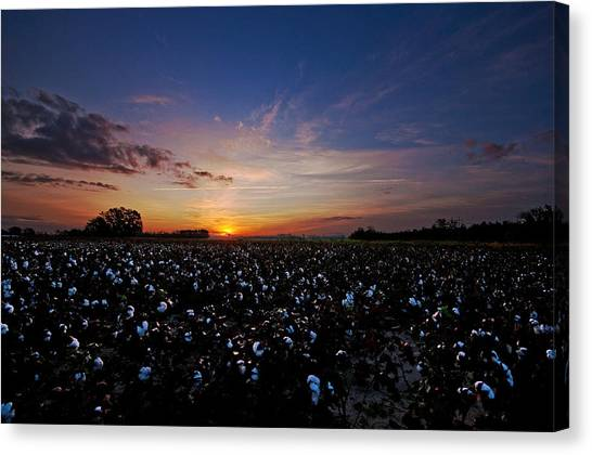 Cotton Field Sunrise Canvas Print