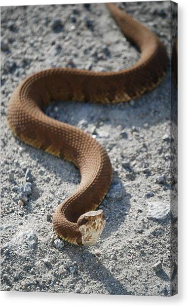 Cottonmouths Canvas Print - Cotton Mouth In The Road by Kathy Gibbons