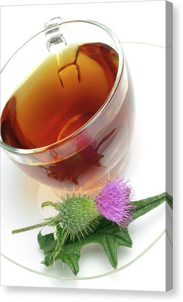 Cotton Thistle Herbal Tea Canvas Print by Bildagentur-online/th Foto/science Photo Library