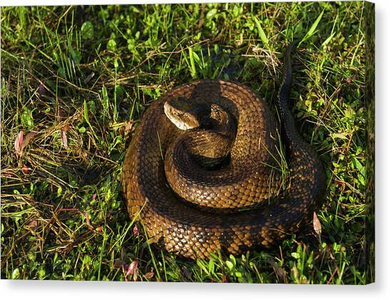 Cottonmouths Canvas Print - Cottonmouth (agkistrodon Piscivorus by Pete Oxford
