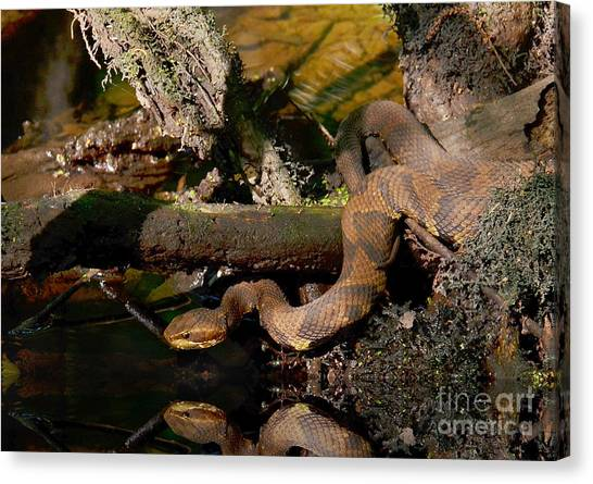 Cottonmouths Canvas Print - Cottonmouth In The Cypress Swamps by Kathy Baccari