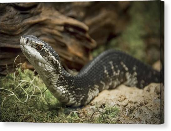 Cottonmouths Canvas Print - Cottonmouth Or Water Moccasin by Penny Lisowski