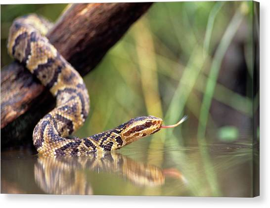 Cottonmouths Canvas Print - Cottonmouth Snake Agkistrodon by Animal Images