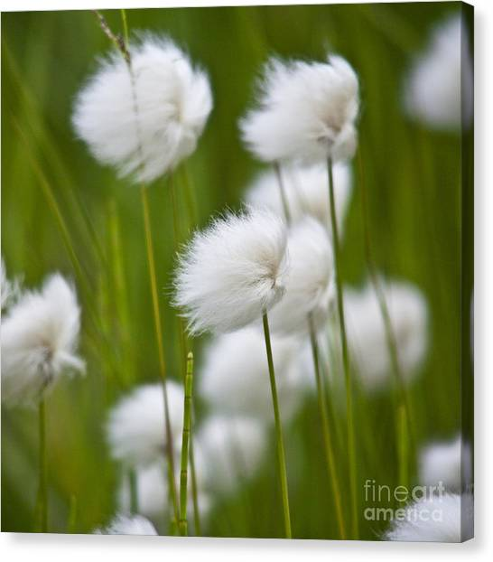 Cottonsedge Canvas Print