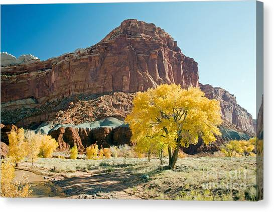 Cottonwoods In Fall The Castlecapitol Reef National Park Canvas Print