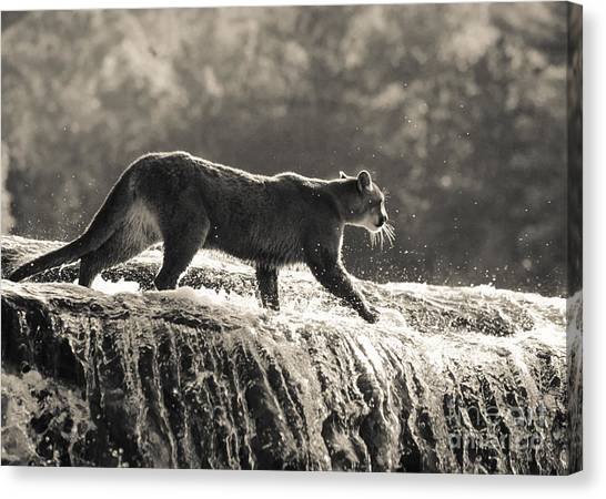 Cougar Crossing Canvas Print
