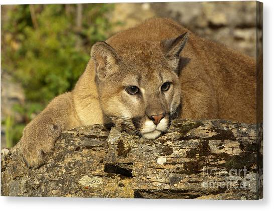Cougar On Lichen Rock Canvas Print