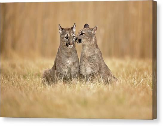 Tenderness Canvas Print - Cougars by Milan Zygmunt