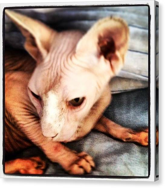 Sphynx Cats Canvas Print - Countdown... Five More Sleeps Til I by Samantha Charity Hall