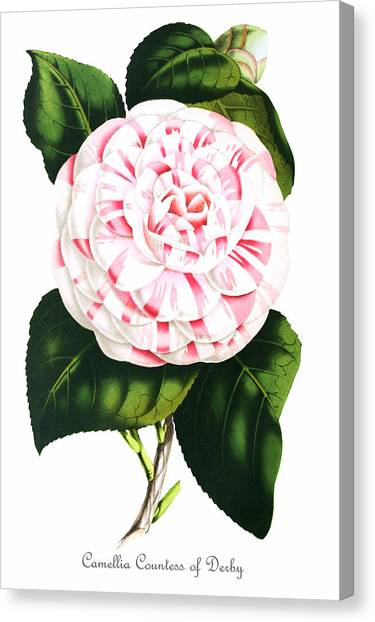 Camellia Canvas Print - Countess Of Derby Camellia by Joy McKenzie