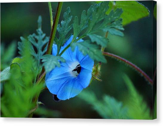 Country Blue Canvas Print