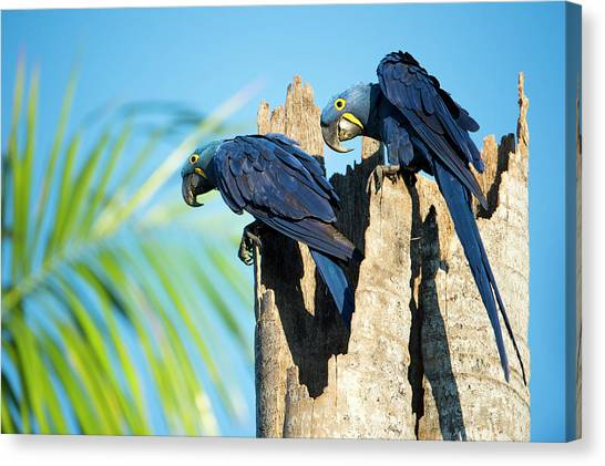 Macaw Canvas Print - Couple Of Hyacinth Macaws by Berndt Fischer