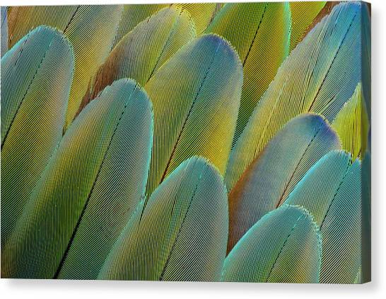 Macaws Canvas Print - Covert Wing Feathers Of The Camelot by Darrell Gulin