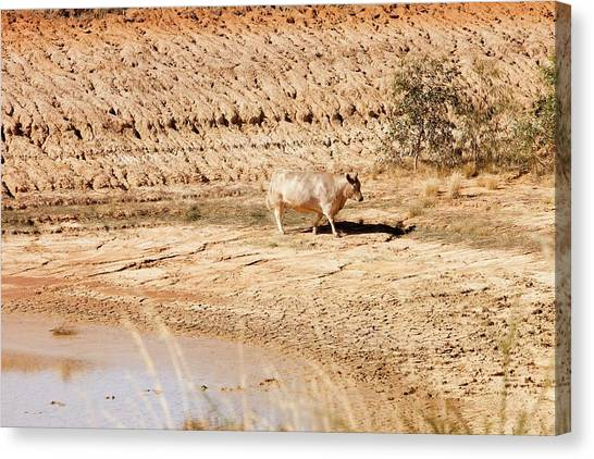 Climate Change Canvas Print - Cow At A Nearly Empty Water Hole by Ashley Cooper