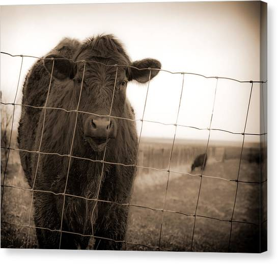 Cow At Fence In Sepia Canvas Print