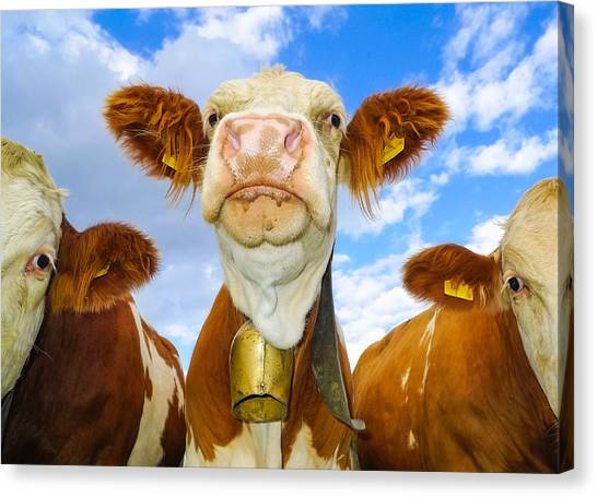 Cow Looking At You - Funny Animal Picture Canvas Print