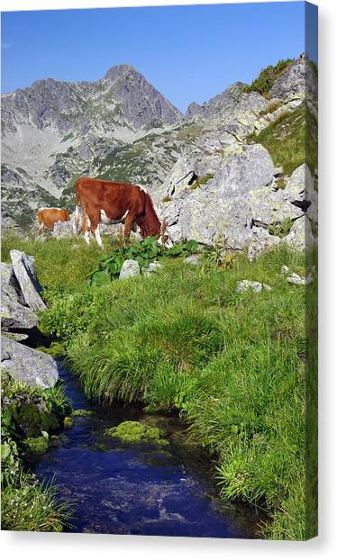 Cow On Alpine Pasture  Canvas Print by Ioan Panaite