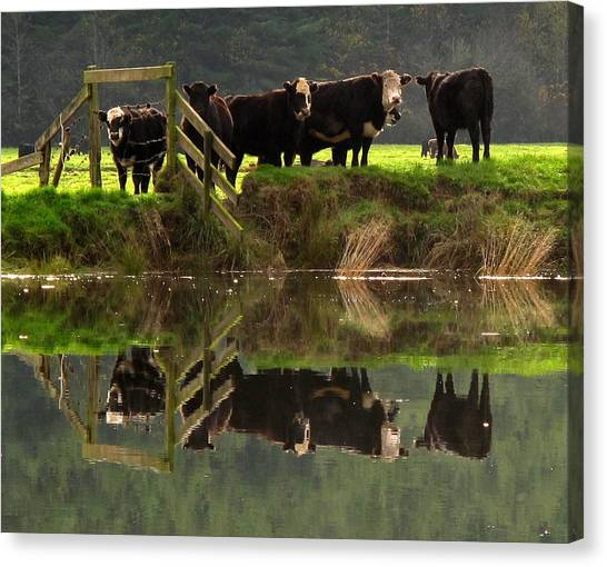 Cow Reflections Canvas Print