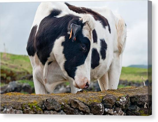 Cow With Head Turned Canvas Print