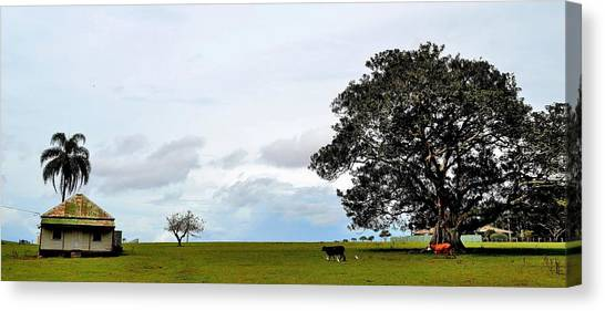 Cows And Shack - Australia Canvas Print